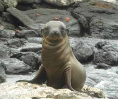 Sea Lion Galapagos